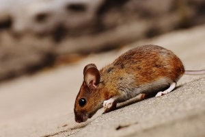 Mouse extermination, Pest Control in Lewisham, SE13. Call Now 020 8166 9746