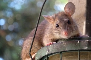Rat Control, Pest Control in Lewisham, SE13. Call Now 020 8166 9746